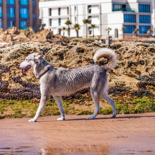 One Animal City Casablanca Morocco Cea  Dogs Husky Husky ♡ Outdoors Animal Hair Focus On Foreground Full Length Animal Themes