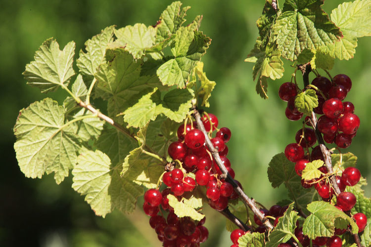 Beauty In Nature Close-up Day Focus On Foreground Food Food And Drink Freshness Fruit Green Color Growth Healthy Eating Leaf Nature No People Outdoors Red Red Currant Rowanberry Tree