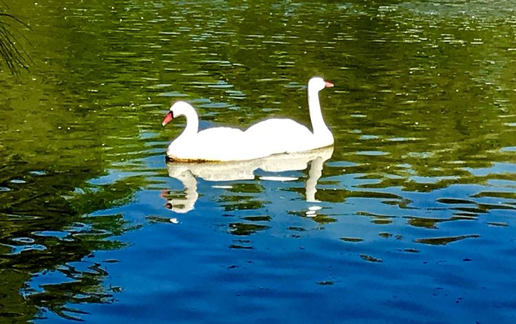 Joined.... Swimming Bird Nature Animal Themes Lake Animals In The Wild Swan Reflection Water Bird Floating On Water No People Beauty In Nature Day Outdoors Togetherness