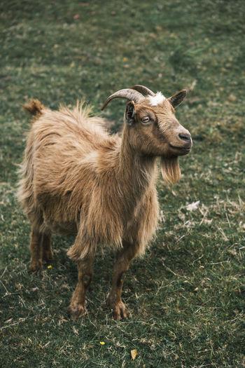 Portrait of an brown goat on grass field