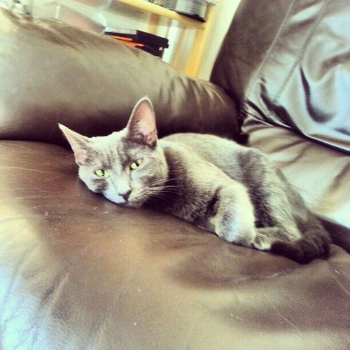 Cat Chilling Russian_blue Kaiba tagstagram kitty cute mischievous