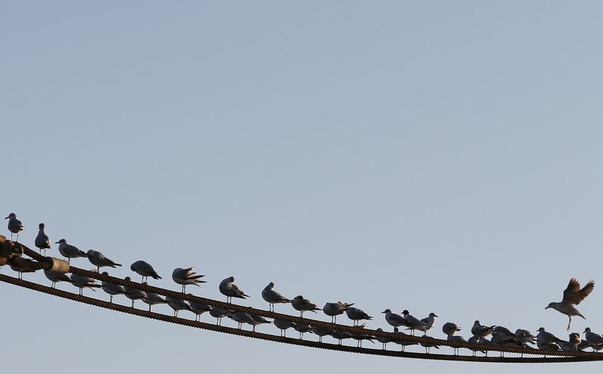 Birds Low Angle View Sky Clear Sky Vertebrate Group Of Animals Animals In The Wild Animal Wildlife Large Group Of Animals Bird Copy Space Animal Perching Nature Animal Themes No People Day Flock Of Birds Pigeon Cable Electricity