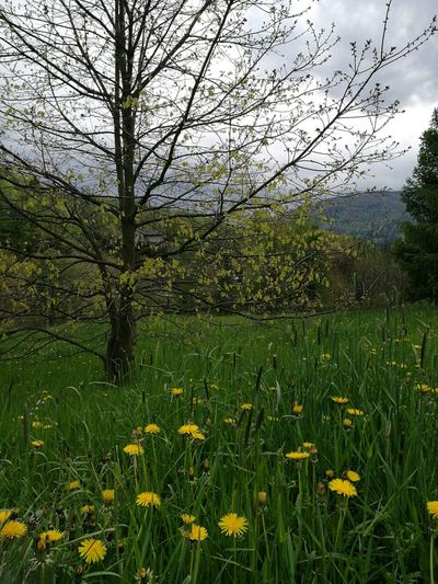 Nature Grass Beauty In Nature Green Color Flower No People May2017 Beskida Mountains Yellow Flowers