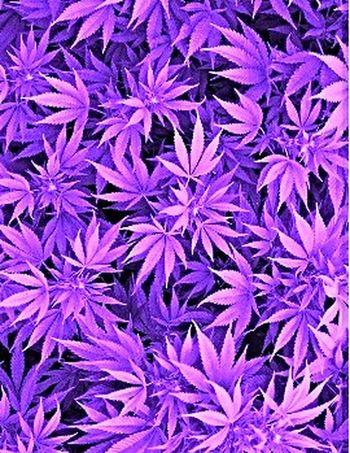 Purp ♥♡♥ Mary Jane Marijuana Stoner Purplekush