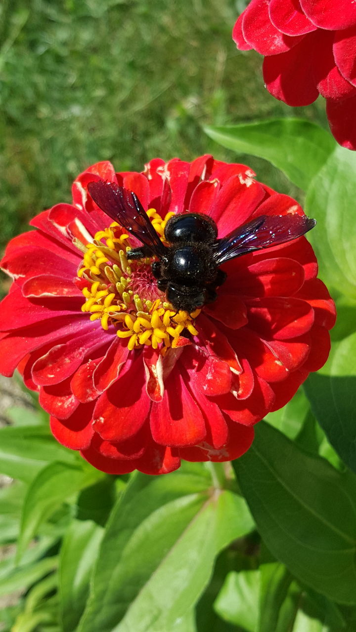 insect, flower, petal, animal themes, one animal, animals in the wild, nature, growth, beauty in nature, freshness, fragility, leaf, flower head, red, plant, day, animal wildlife, outdoors, no people, close-up, bee, pollination, blooming, zinnia