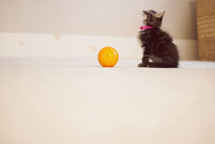 Molly Fitzgerald, nine weeks old. Projectmollygrow My Pets Orange Kitten Love Check This Out