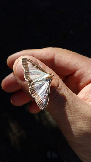 Close-up of moth on thumb