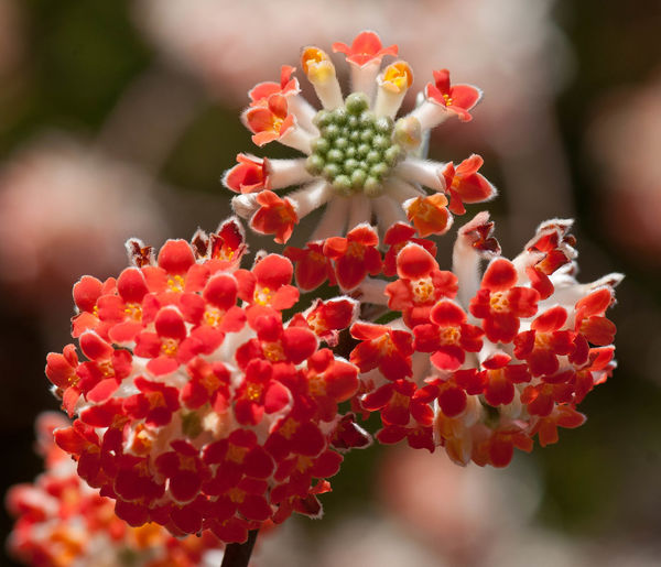 Beauty In Nature Bunch Of Flowers Close-up Day Flower Flower Head Flowering Plant Focus On Foreground Fragility Freshness Fruit Growth Inflorescence Nature No People Outdoors Petal Plant Red Rowanberry Succulent Plant Vulnerability