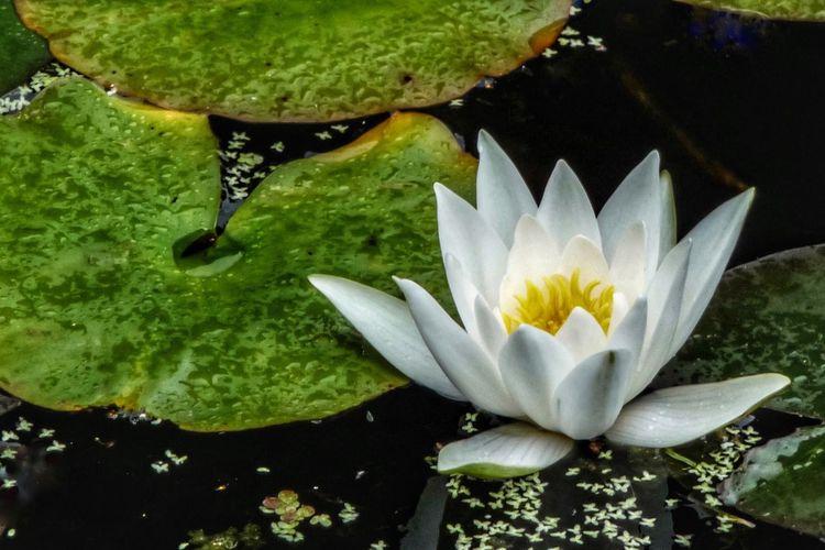 Water Lily Water Lillies Flower Pond Leaves Water Water Surface EyeEm Nature Lover EyeEm Gallery Eye4photography  Botany Flowers Flowerporn Water Flowers