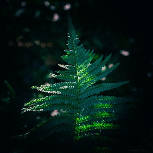 Close-up of fern leaves on tree at night