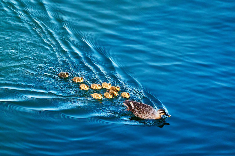 High angle view of duck family swimming in sea
