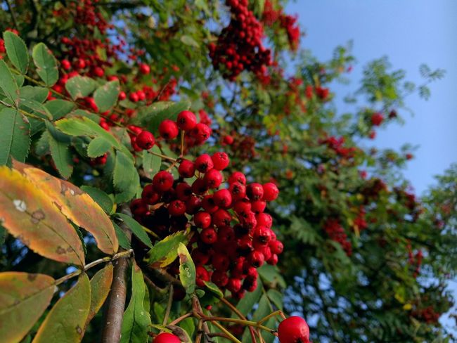 Red Day No People Nature Outdoors Leaf Tree Beauty In Nature Berrys Colors Sky EyeEmNewHere