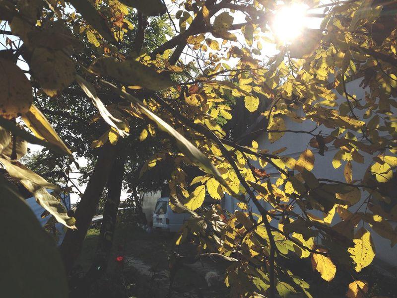 Autumn Leaves Walnut Tree