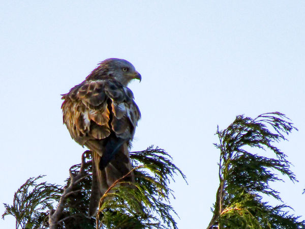 Bird Low Angle View Animal Themes One Animal Animal Wildlife Outdoors No People Day Perching Animals In The Wild Tree Nature Sky Red Kites Red Kite In Flight Red Kite Beauty In Nature RSPB Rspb_love_nature