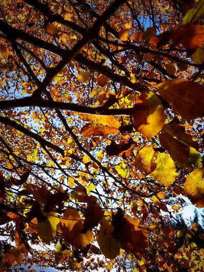 Tree Autumn Nature Leaf Beauty In Nature Day Outdoors Sunlight Forest Tranquility Growth Branch Sky Mountains Hiking Yellow Landscape Fagus Sylvatica Orange Autumn Colors Autumn Leaves Close-up