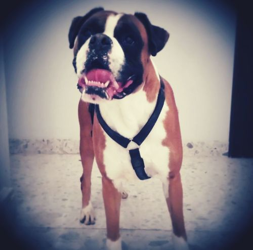 I Love My Dog Maximus Boxer First Eyeem Photo