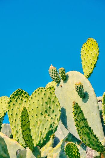 Prickly Pear Cactus Cactus Uncultivated Blue Sky Close-up Plant Green Color Saguaro Cactus Succulent Plant Tucson Spiked Semi-arid Thistle Namibia Joshua Tree National Park Barrel Cactus Natural Pattern Thorn Sharp Spiky Australasia Needle - Plant Part