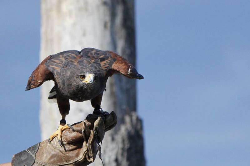Close-up of falcon perching against clear sky