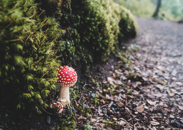 Fly Agaric Mushrooms Growing By Mossy Rocks On Field
