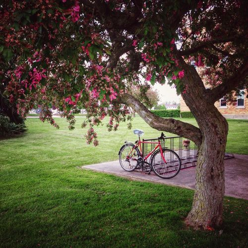Tree Flower Beauty In Nature Transportation Bicycle Springtime Outdoors No People Grass Nature Bike Bike Life Cycling Bike Rack Pink Flowering Tree Canada Urban City Life Getting Around Park Grassy Urban Life