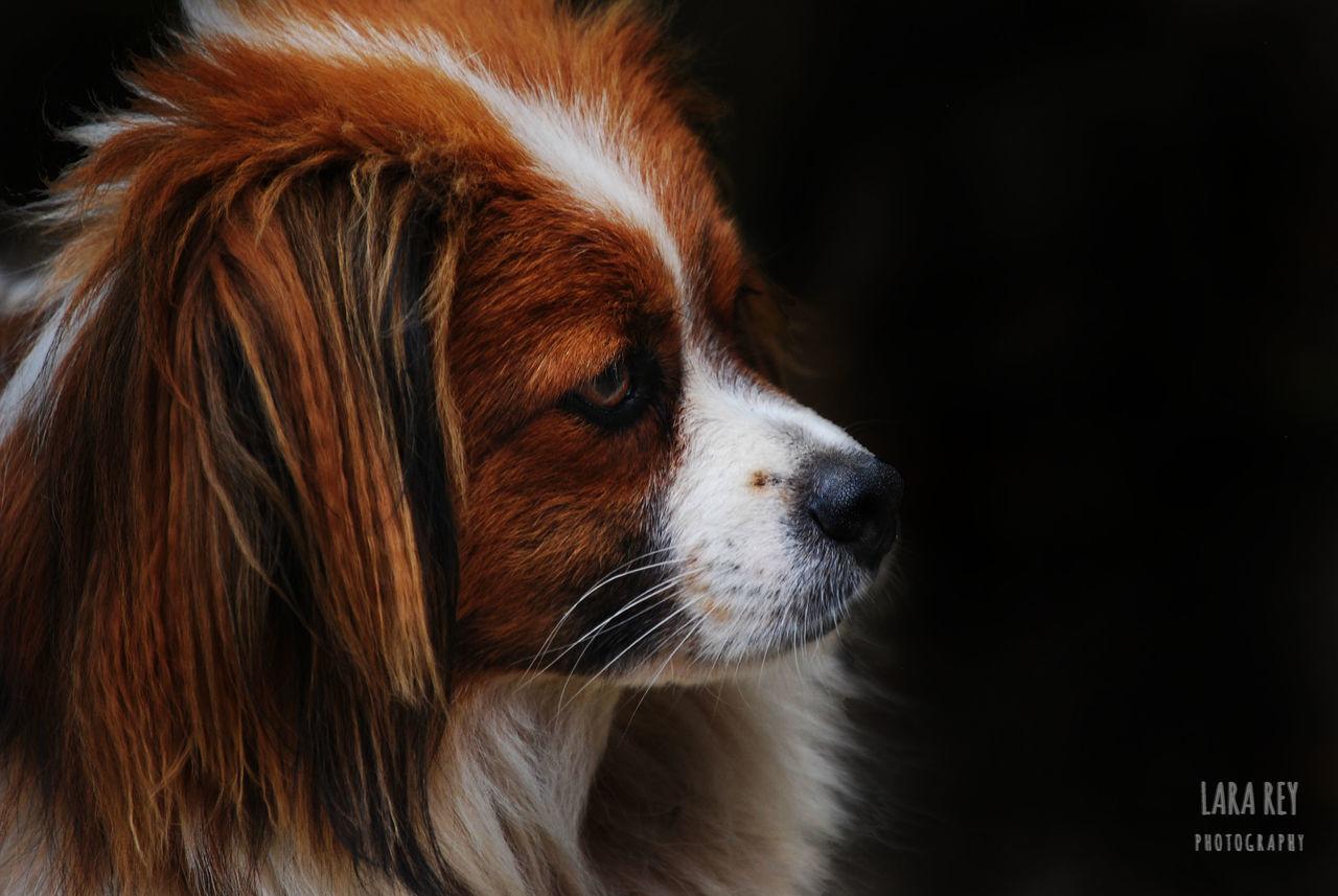 pets, domestic animals, dog, one animal, animal themes, mammal, no people, close-up, indoors, day, beagle