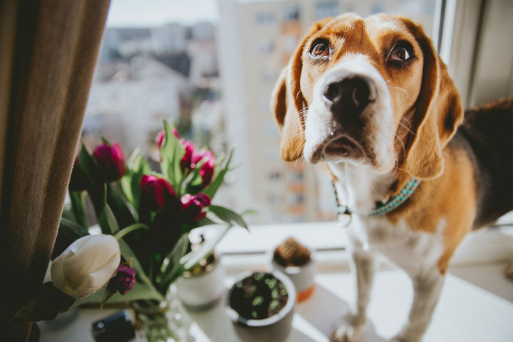 Nuca the beagle View Animal Themes Beagle Close-up Day Dog Domestic Animals Flower Flower Head Flowers Freshness Indoors  Mammal No People One Animal Pets