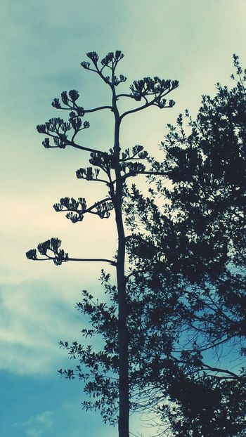 A super tall agave plant in our neighborhood. Tree Nature Sky No People Outdoors Day Forest Silhouette Beauty In Nature Landscape Branch Agaveplant Agave Naturelover Beauty In Nature Popular Photos Eye Em Nature Lover Eyemphotos EyeEm Best Shots