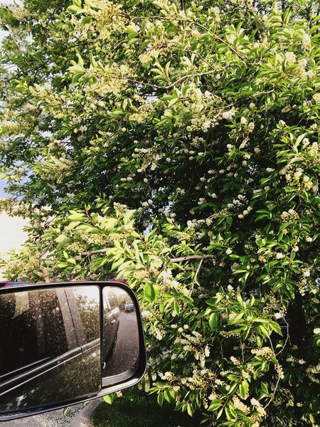 """Flora"" Tree Transportation Side-view Mirror Growth Nature Day No People Land Vehicle Road Car Vehicle Mirror Beauty In Nature Outdoors Close-up Sky"