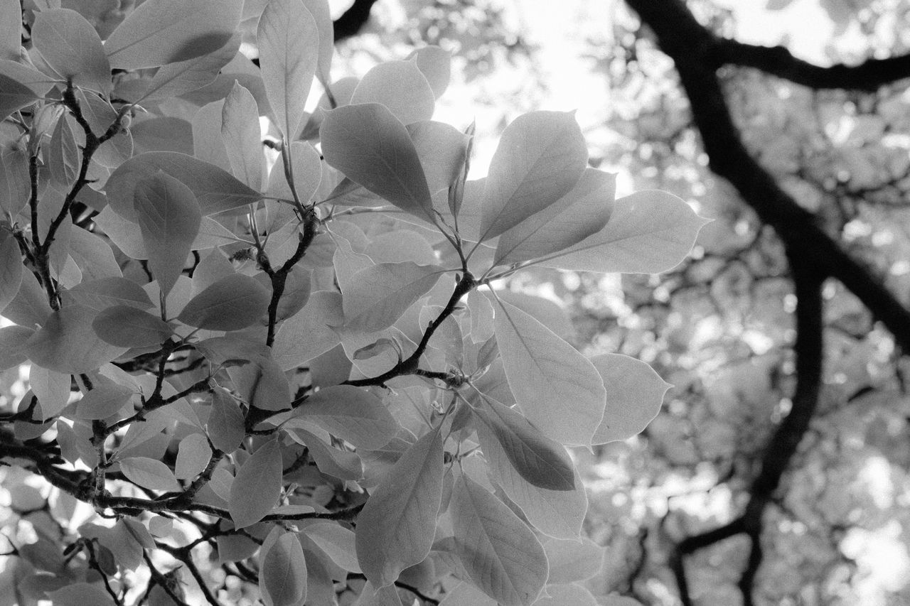 plant, beauty in nature, flowering plant, flower, freshness, growth, fragility, vulnerability, petal, close-up, tree, branch, no people, nature, day, blossom, springtime, plant part, leaf, outdoors, flower head, pollen, cherry blossom, cherry tree