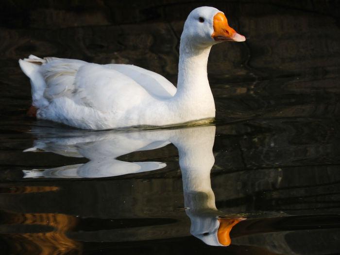 Goose Reflection Water India Lake Animal Themes White Bird Reflections In The Water Bird Water Beak Close-up HEAD Animal Eye Animal Head