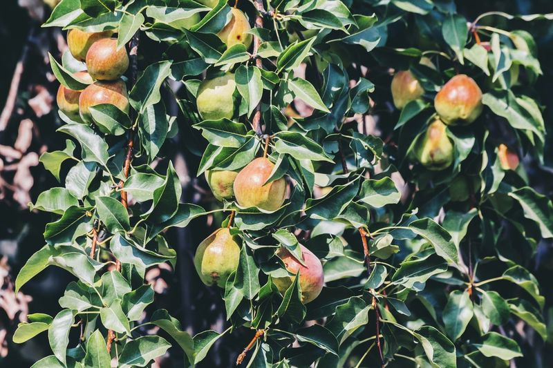 Ripe Pears Rich Harvest Pear Tree  Nature Photography Healthy Eating Summerfeeling ☀ Garden Harvest Pear Fruit