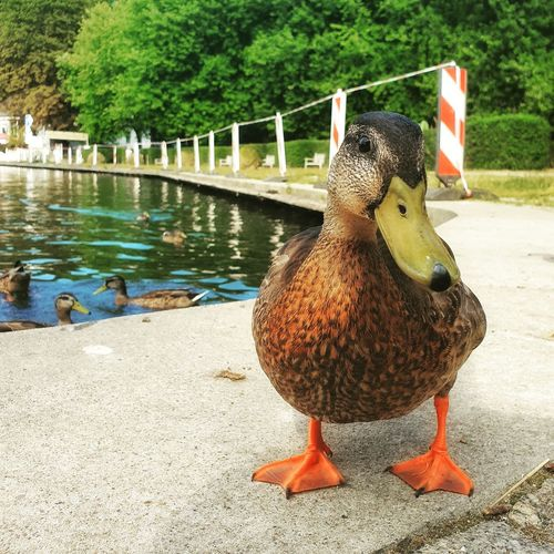 Close-up of duck perching on a lake