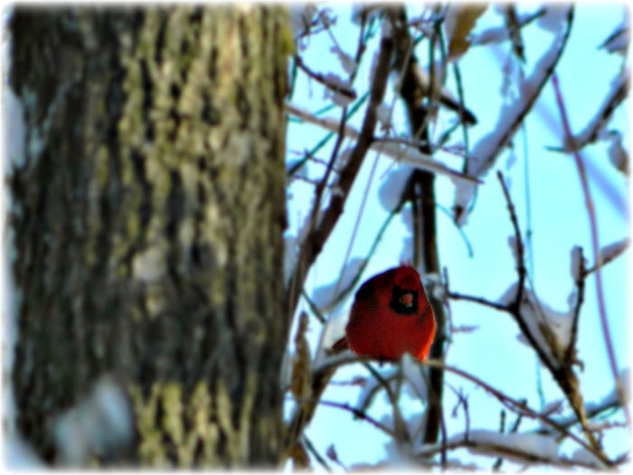 Bare Tree Bird Bird Photography Birds Branch Finch Finches Nature Outdoors Winter Springfield, Nebraska Mopac Trail Cardinal Mopac Trail