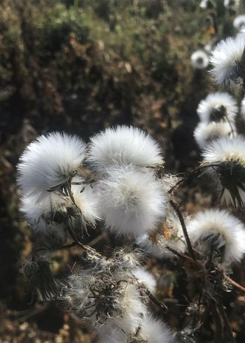 Seed delivery system. Plant Fluffy Close-up Focus On Foreground Nature Seed Seed Head Vertical Outdoors Reproduction Wind Distribution Wind Distribution
