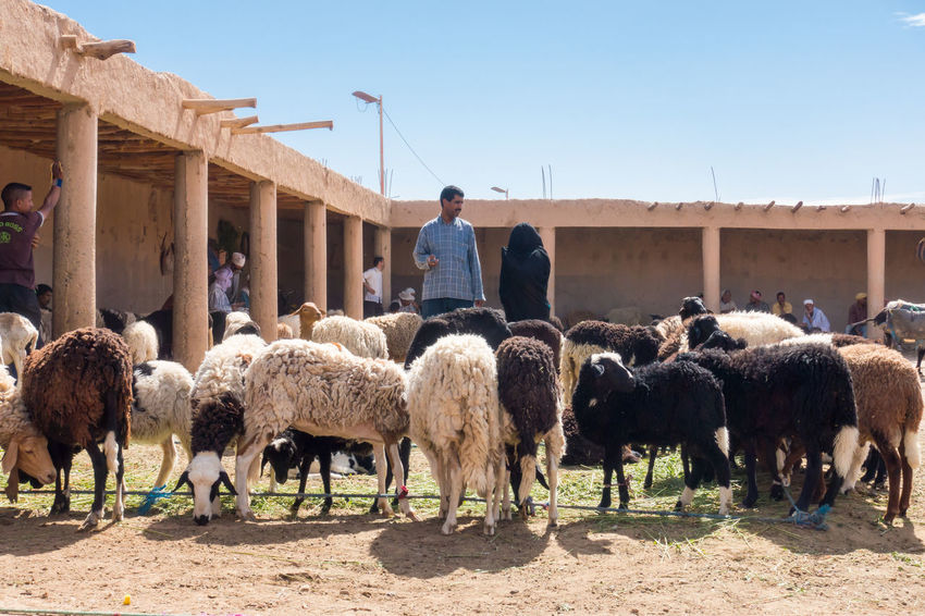 Moroccans looking at sheep at a sheep market in Morocco Buying Parts City Market Morocco Rissani Agriculture Day Domestic Domestic Animals Group Of Animals Herd Livestock Mammal Mature Men Men Outdoors Selling Sheep Standing