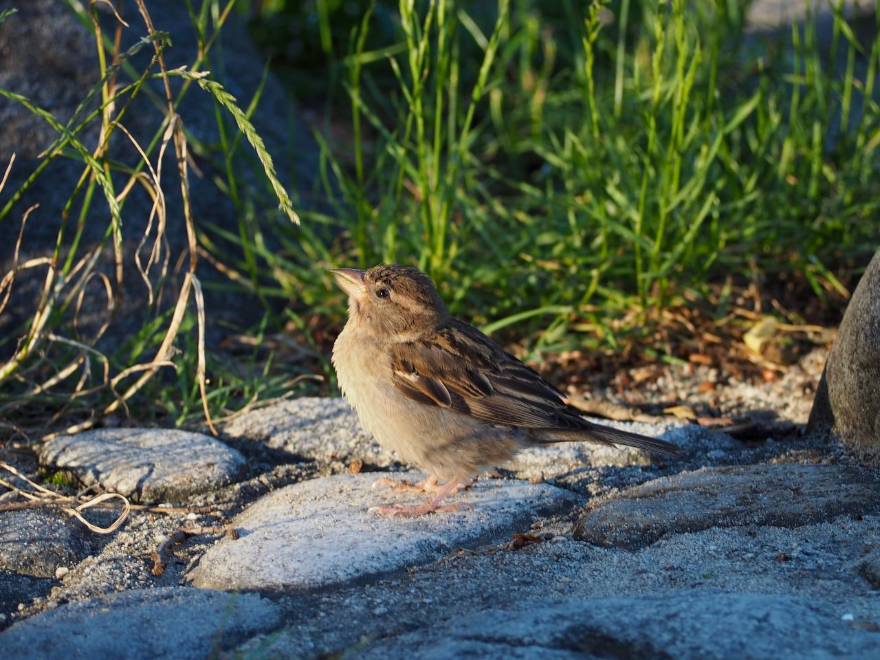animal themes, animal, one animal, animal wildlife, vertebrate, animals in the wild, bird, perching, day, sparrow, nature, no people, plant, outdoors, rock, land, focus on foreground, side view, close-up, selective focus
