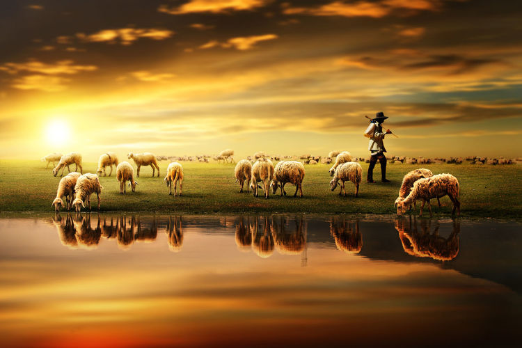 Shepherd With Flock Of Sheep On Landscape By Pond Against Sky During Sunset