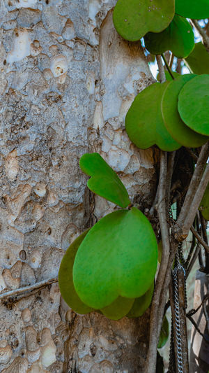 Close-up of fruit growing on tree trunk