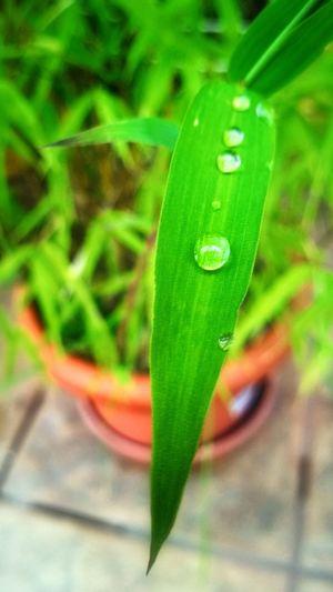 Rain Drops Bamboo What Eye See  Garden