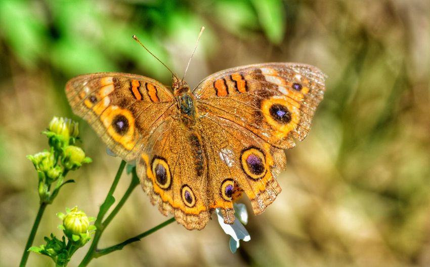 Common Buckeye Tattered And Torn Insect Butterfly - Insect Animals In The Wild Animal Themes One Animal Focus On Foreground Beauty In Nature Nature Close-up Plant Fragility Flower Animal Wildlife Butterfly Day No People Outdoors Full Length Pollination Spread Wings