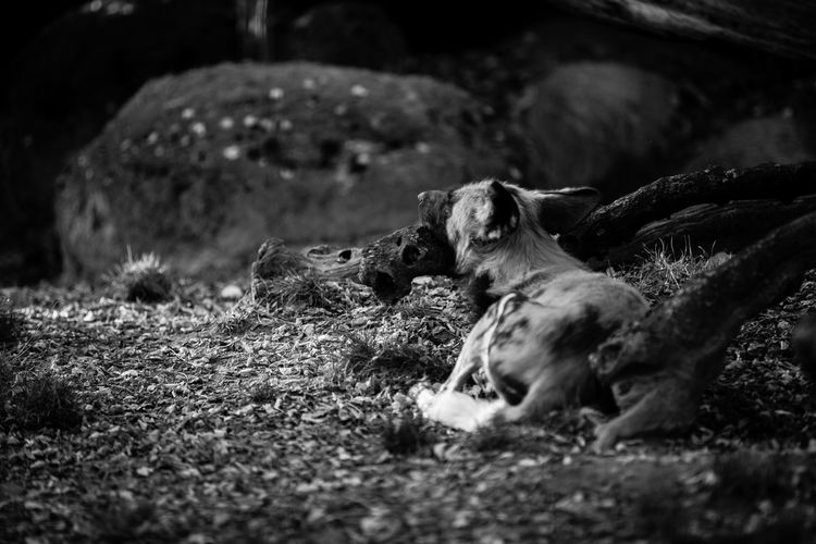 African Wild Dog Animal Bw Lycaon Pictus Zoo