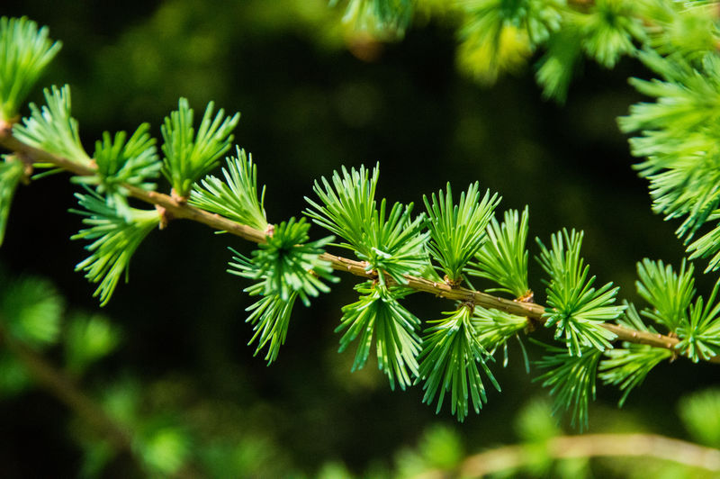 European Larch Beauty In Nature Close-up Coniferous Tree Focus On Foreground Genus Larix Green Color Growth Larch Larch Tree Leaf Plant Tree