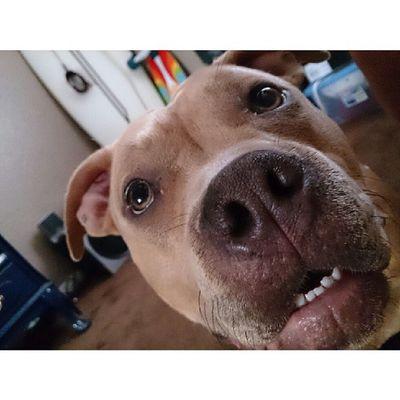 My only friend! Cali Pitbull Rednose  Onlyfriend dogmydawgcloseupmacroxperiazphotographywednesdayspacedoutcruisersurfboardinthebackroompictureofthedayinstagood