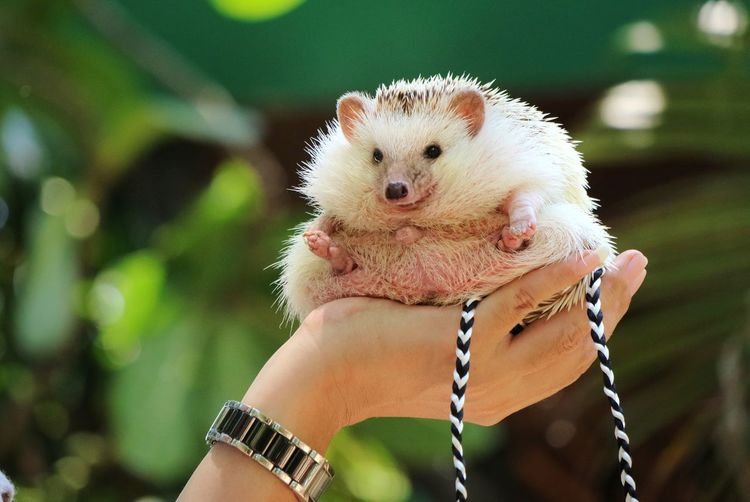 Close up of hand holding cute young hedgehog with green leaves background. animal concept.