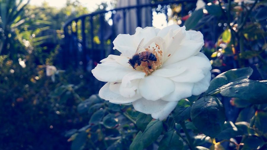 Bee Endangered Species Flower Fragility Beauty In Nature Insect Savethebees Protect Me. Weneedbees Flower Freshness Fragility Petal Growth Close-up White Color Beauty In Nature One Animal Flower Head Springtime Animals In The Wild Insect Animal Themes Blossom In Bloom