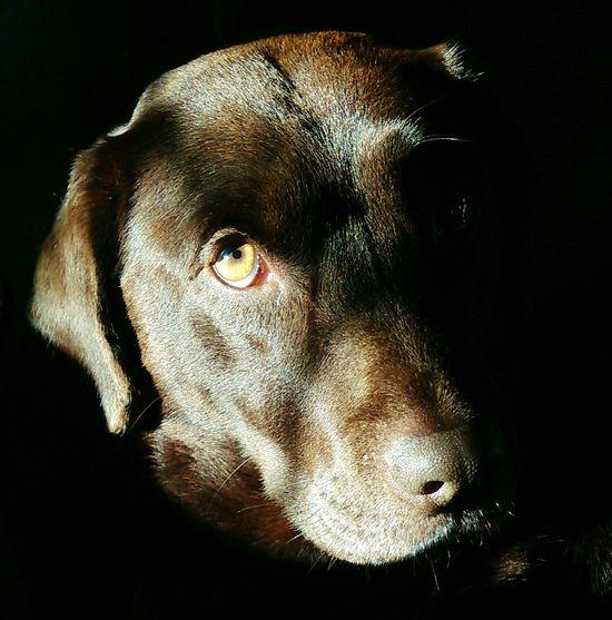 Please can I have it? Dog Labrador Labrador Retriever Dog Life LabradorLove Eyes Pet Photography  Light And Shadow Beggingdog