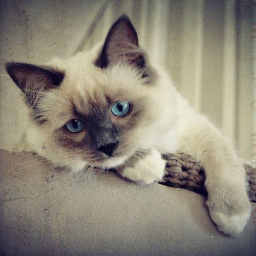 VINTAGE CAT Ragdoll Cat Ragdoll Kitten Kitten