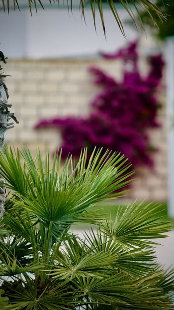 Buganvilla Plant Growth Tree Nature Green Color Beauty In Nature Close-up No People Leaf Plant Part Day Focus On Foreground Outdoors Branch Freshness Pink Color Flowering Plant Flower Selective Focus Pine Tree Purple Coniferous Tree Needle - Plant Part Buganvilla