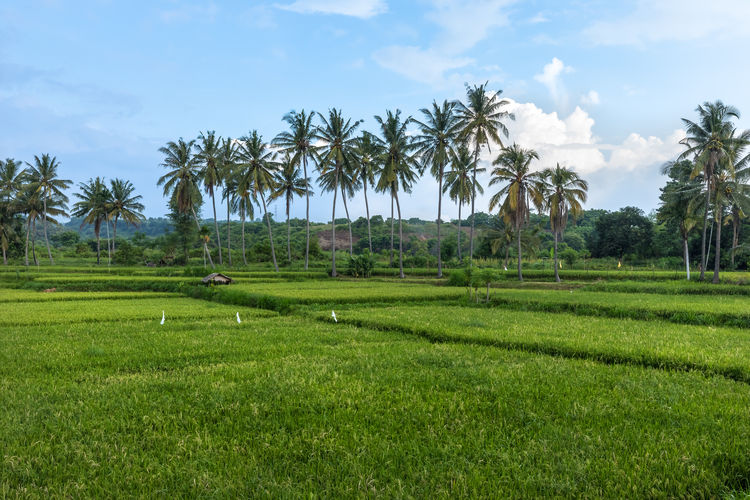 Rice filed in Lokokrangan, Lombok, Indonesia INDONESIA Lokokrangan Lombok-Indonesia Palm Tree Agriculture Beauty In Nature Day Field Grass Green Color Hut Landscape Lombok Nature No People Outdoors Palm Trees Rice Field Scenics Sky