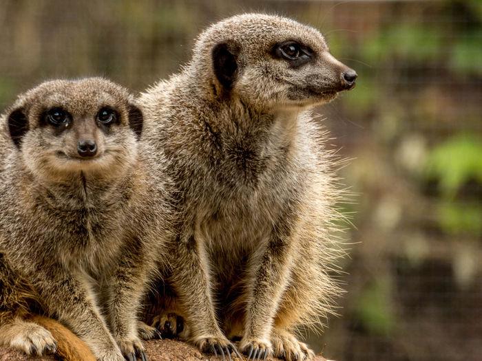 Close-up of meerkats sitting outdoors